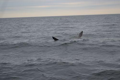 Basking shark maine ocean adventures for Deep sea fishing maine