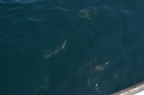 Multiple shark sighting maine ocean adventures for Deep sea fishing maine