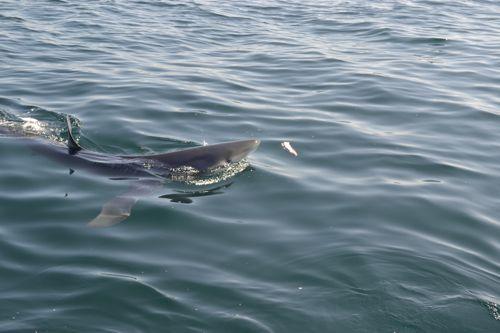 Blue shark maine ocean adventures for Deep sea fishing in maine