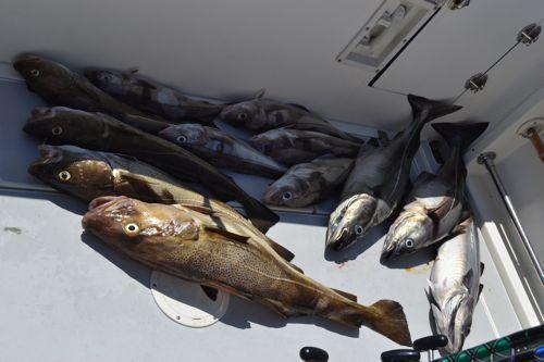 Lots of nice fish maine ocean adventures for Deep sea fishing maine