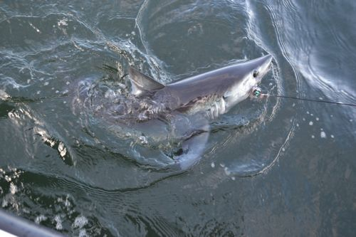 Porbeagle shark maine ocean adventures for Maine deep sea fishing charters