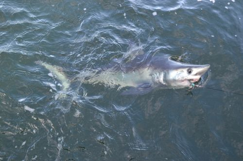 Shark fishing in maine maine ocean adventures for Maine deep sea fishing charters