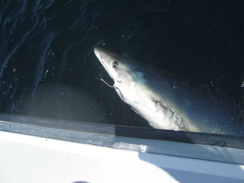 Catch and release shark fishing in maine maine ocean for Deep sea fishing maine