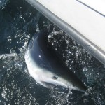 shark fishing charters in Maine