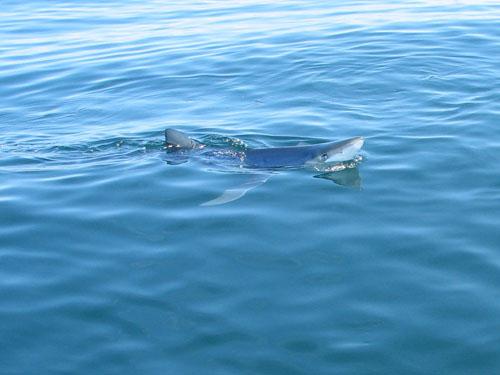Shark in maine maine ocean adventures for Deep sea fishing maine